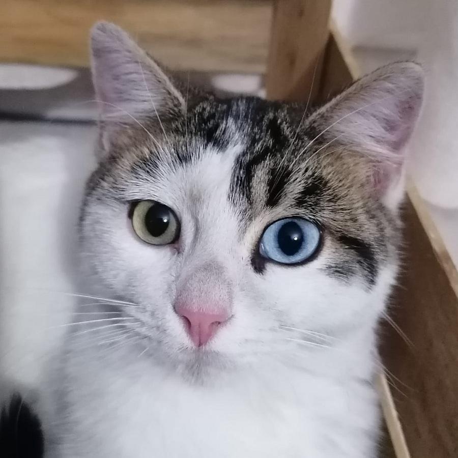 gato con heterocromia ojo verde y azul