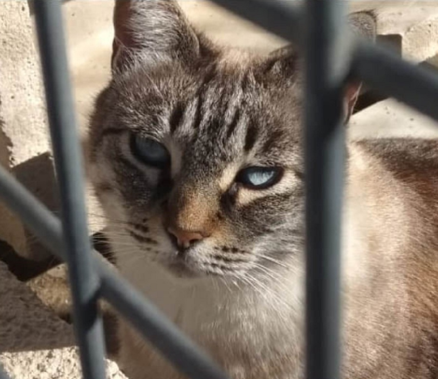 gato de pelaje gris y blanco con ojos azules tras una reja