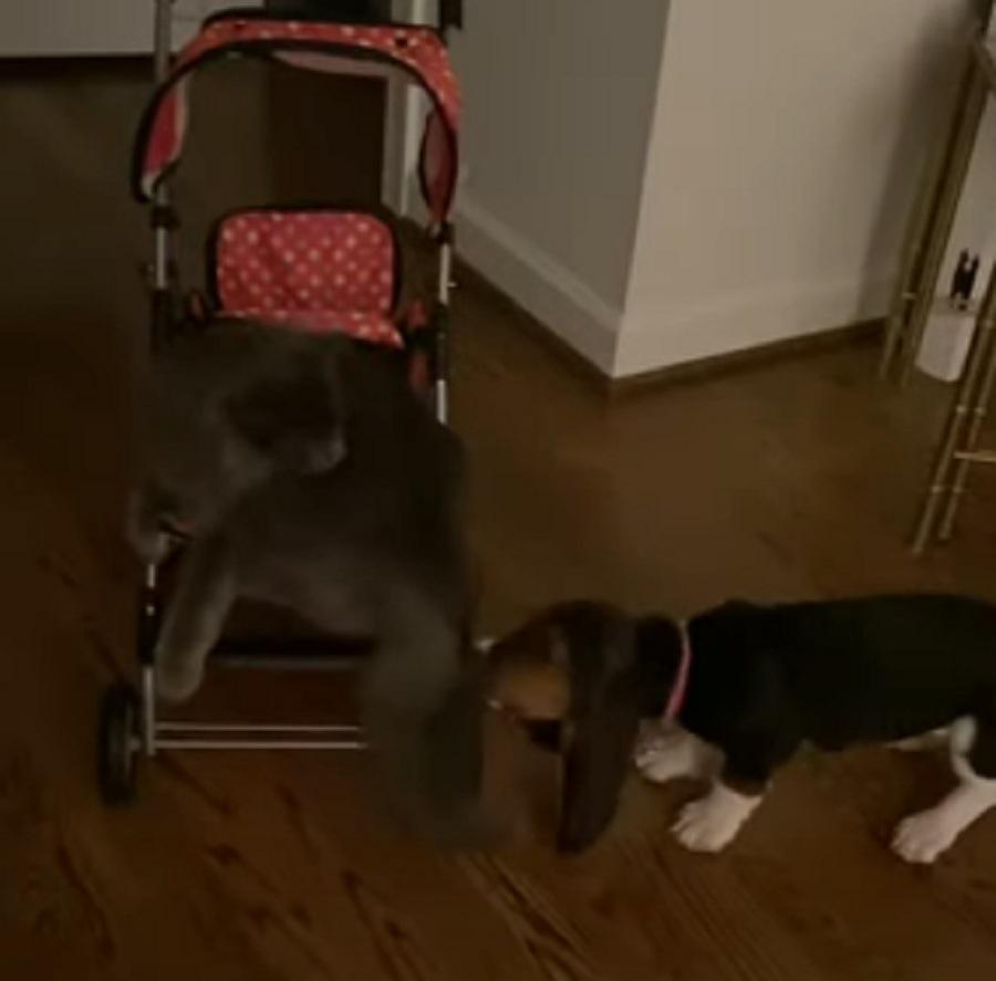 gato dentro de un carro y perro tirando de su cola