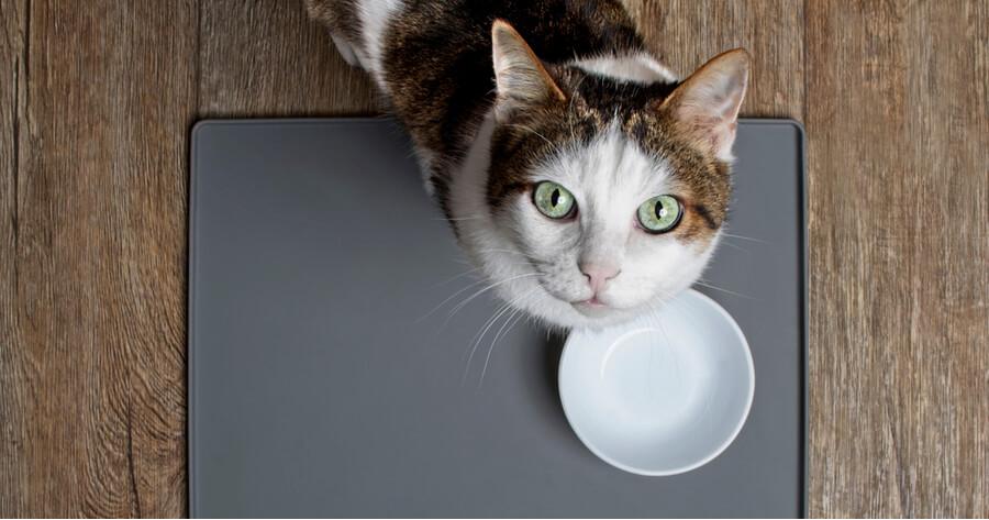 gato espera junto a un cuenco vacio de comida