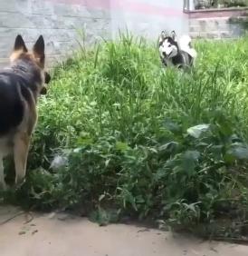 husky y pastor aleman jugando