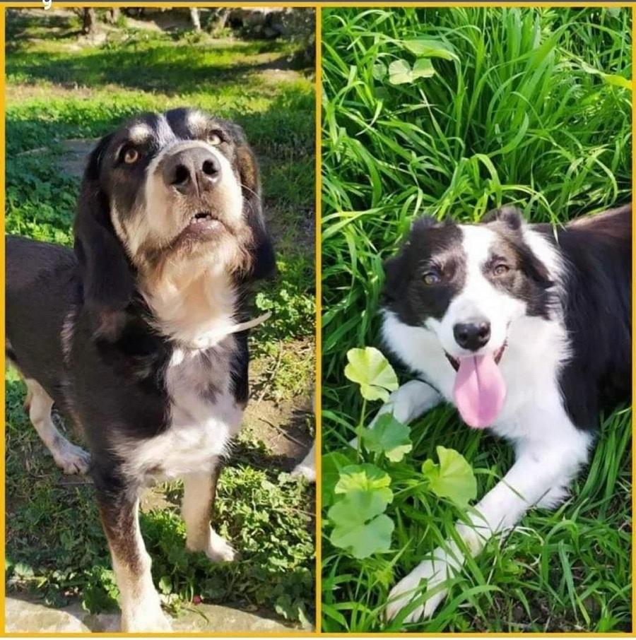 montaje de dos fotos con perros en el campo
