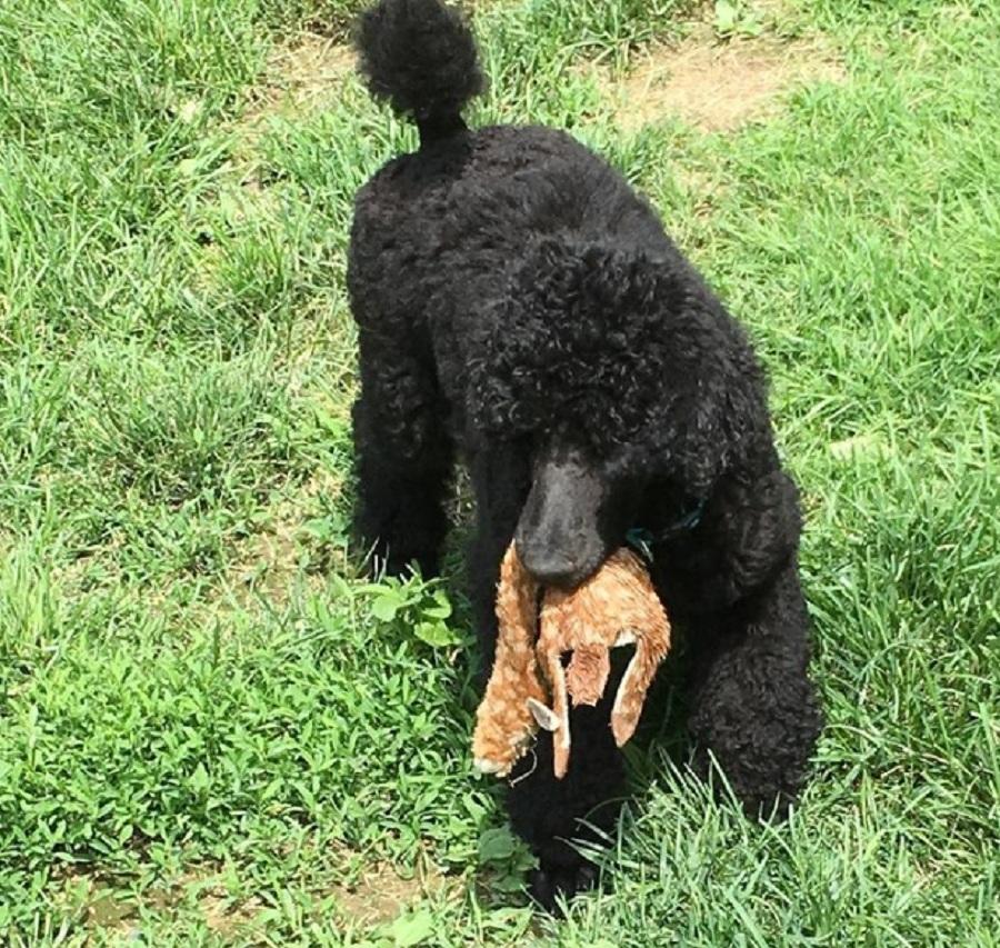 perro de color negro con un peluche en la boca