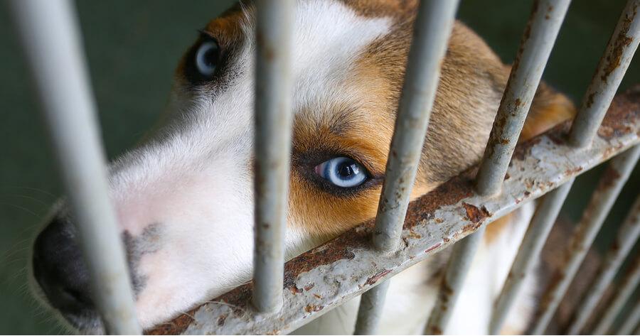 perro de ojos azules en una jaula