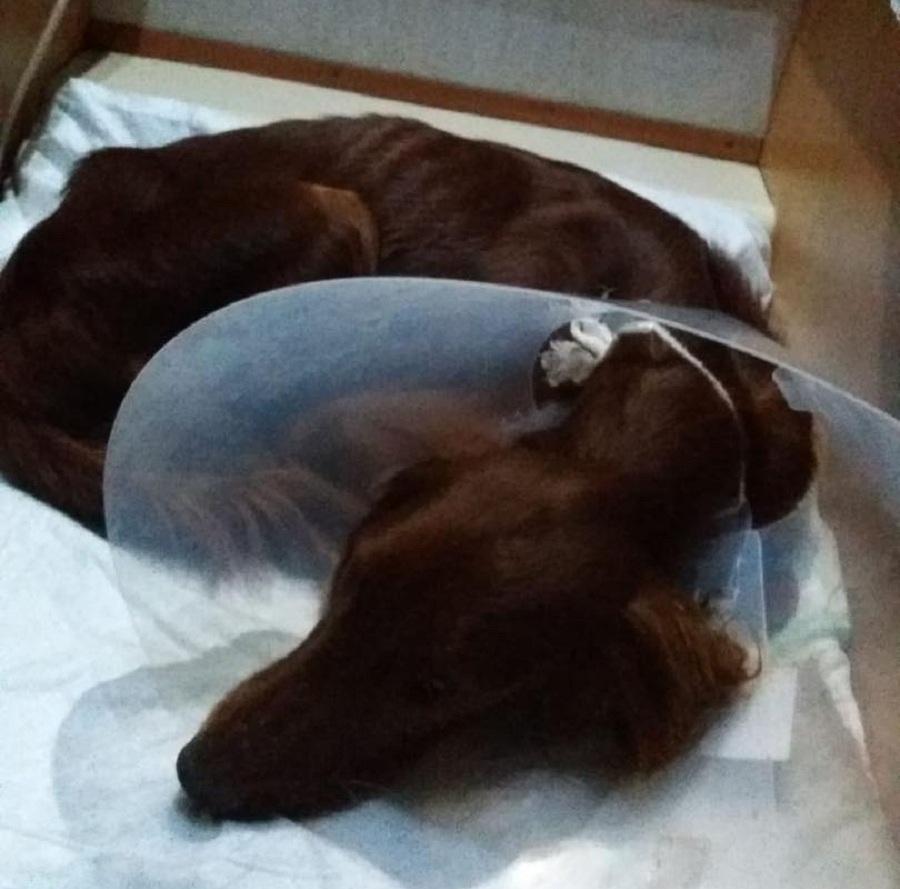 perro descansa en su cama con cono en la cabeza