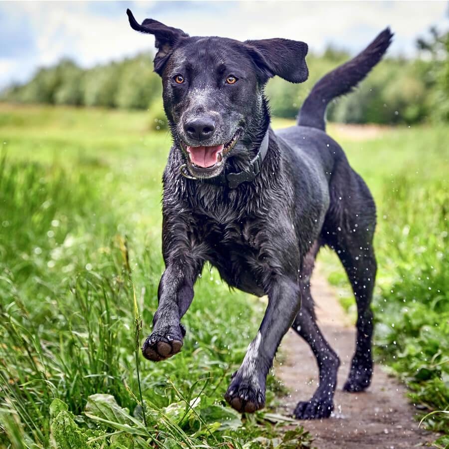 perro negro corre feliz por el campo
