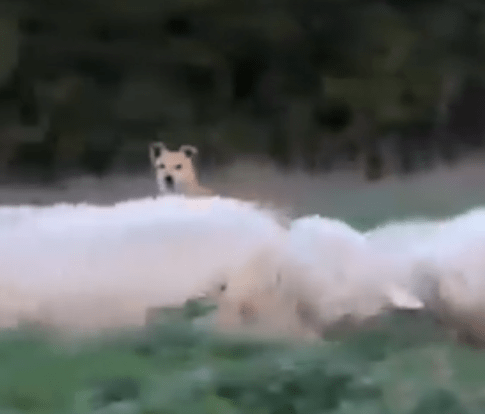 perro pastor ovejero camuflado
