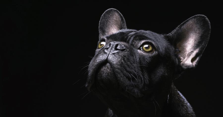 nombre bulldog frances negro