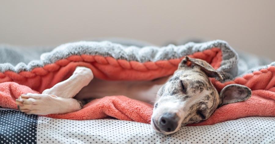 cane-sotto-le-coperte