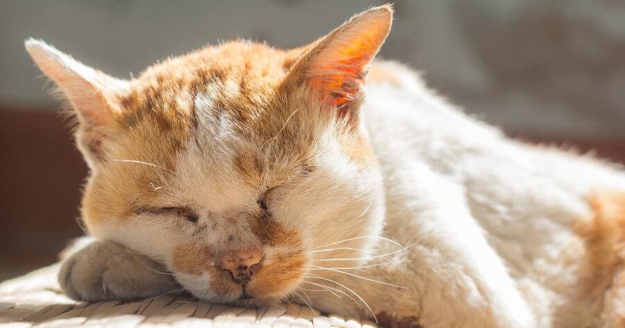 gato mayor naranja durmiendo