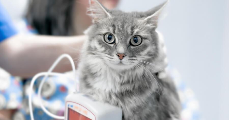 gato sangre veterinario