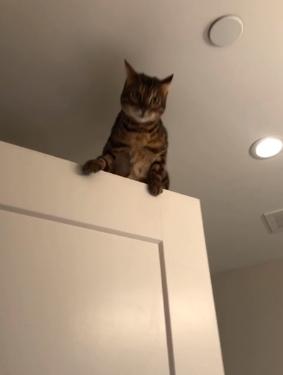 gato bengala subido a puerta