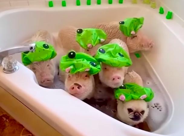 bañera cerdos con un adorable pug