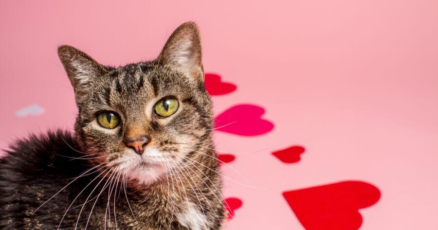 gato cariñoso corazones