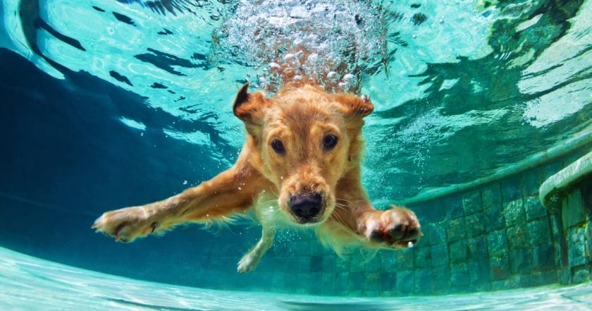 golden retriever agua