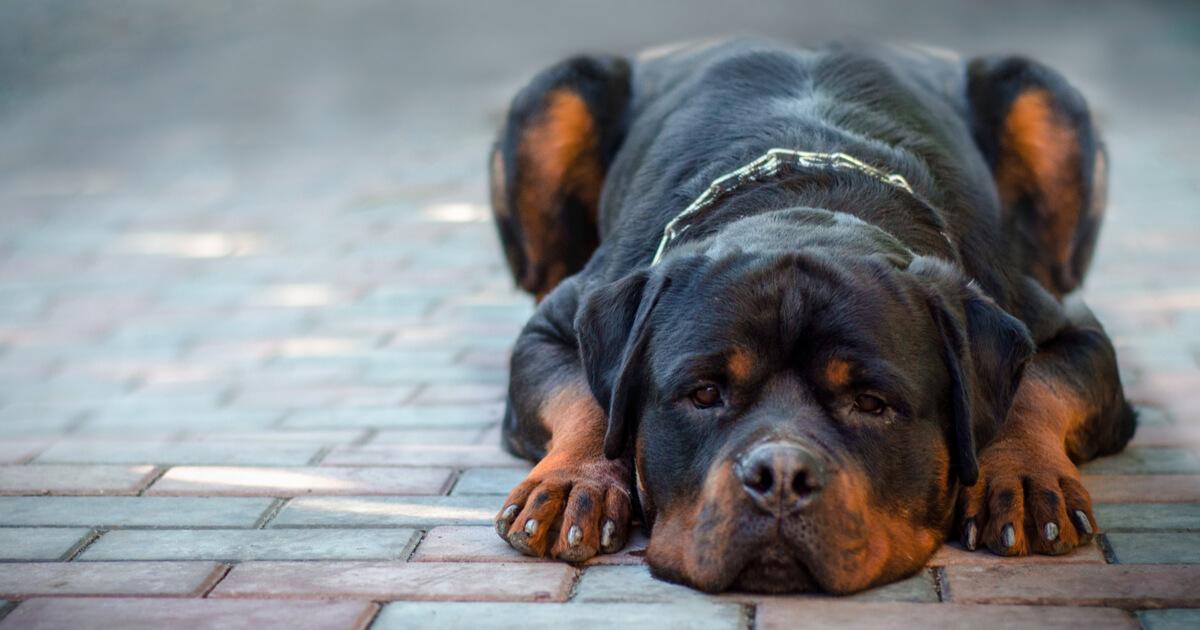 rottweiler foto perro
