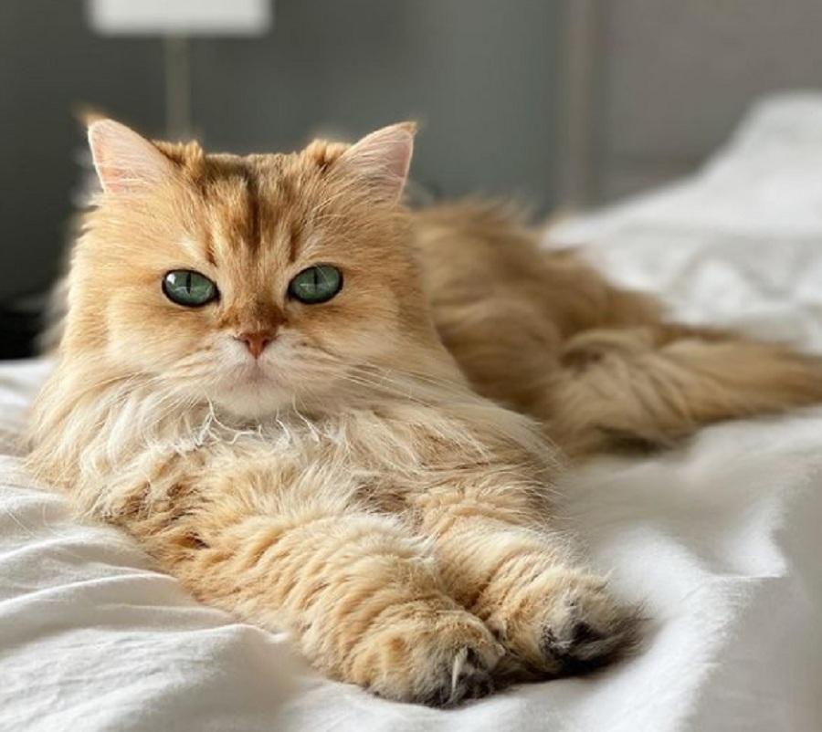 gato British Longhair tumbado en una cama
