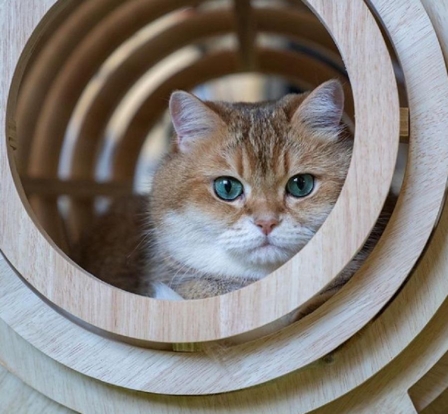 gato rubio con ojos azules dentro de un cilindro de madera