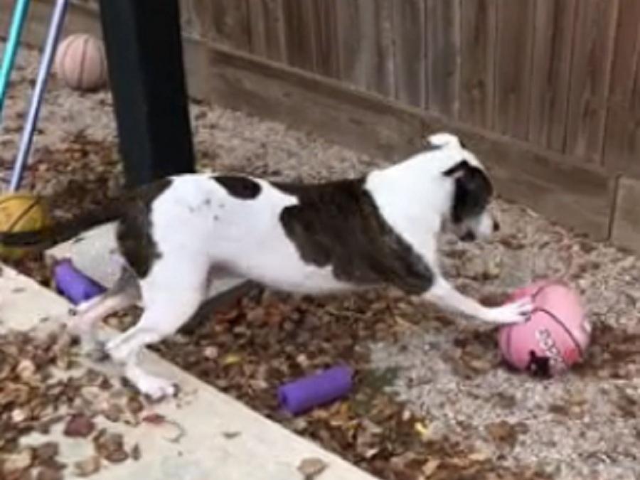 pitbull coge una pelota de basket