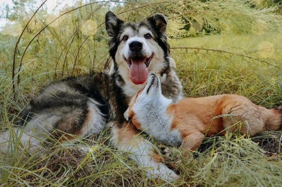 zorro juega con un perro tumbados en la hierba