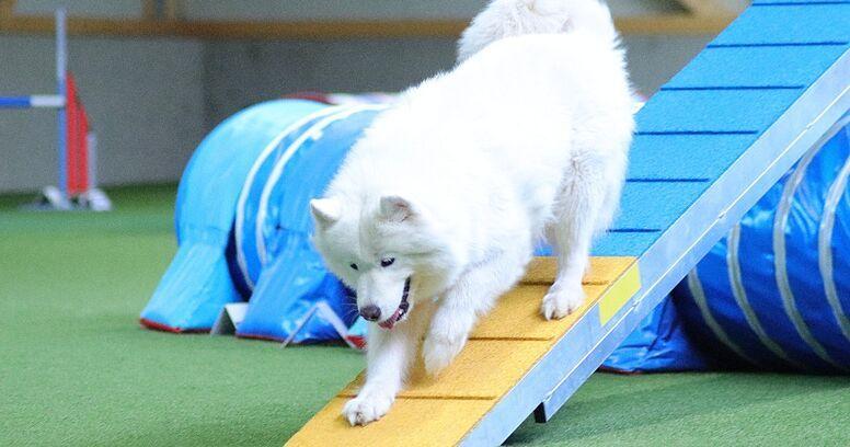 samoyedo agility