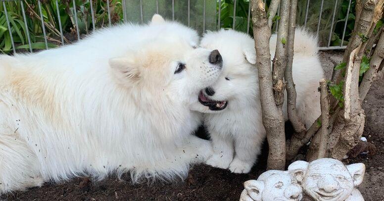 samoyedo con cachorro