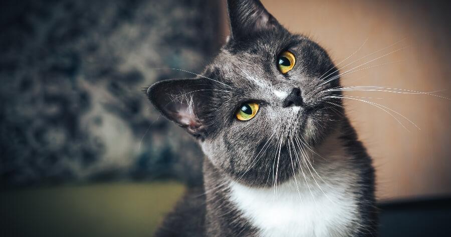 gato gris escucha atención