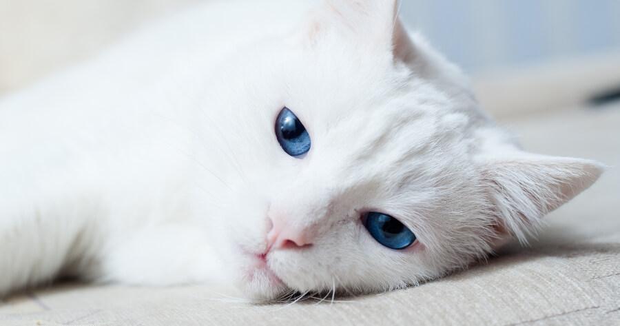 gato blanco cancer de piel