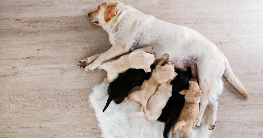 lactancia perros