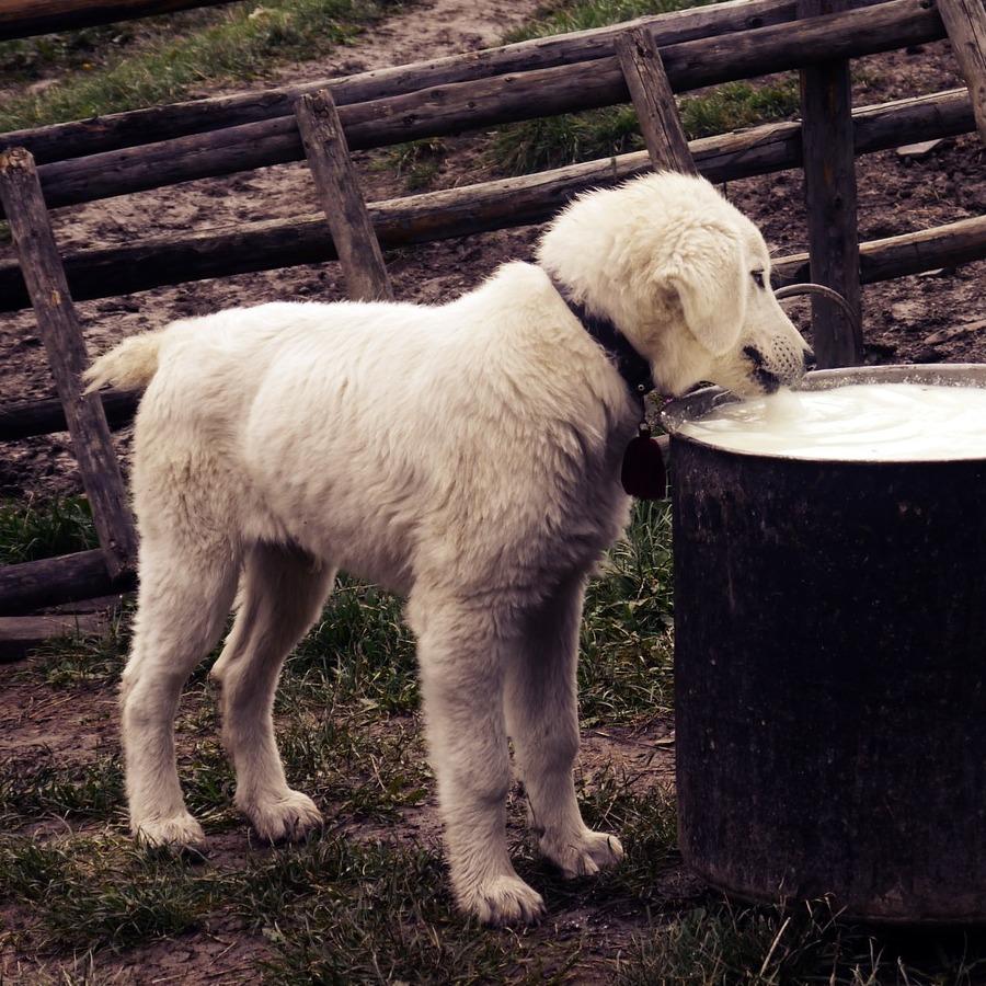 perro bebiendo de un bidon de leche