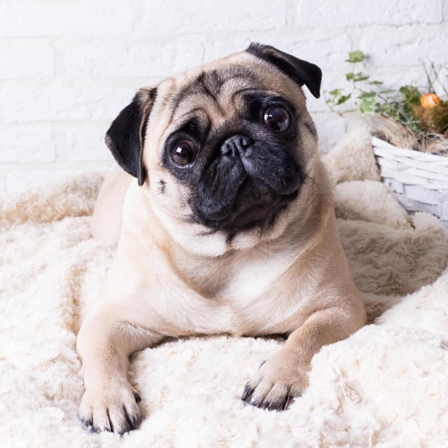 nombres chinos para perros pug