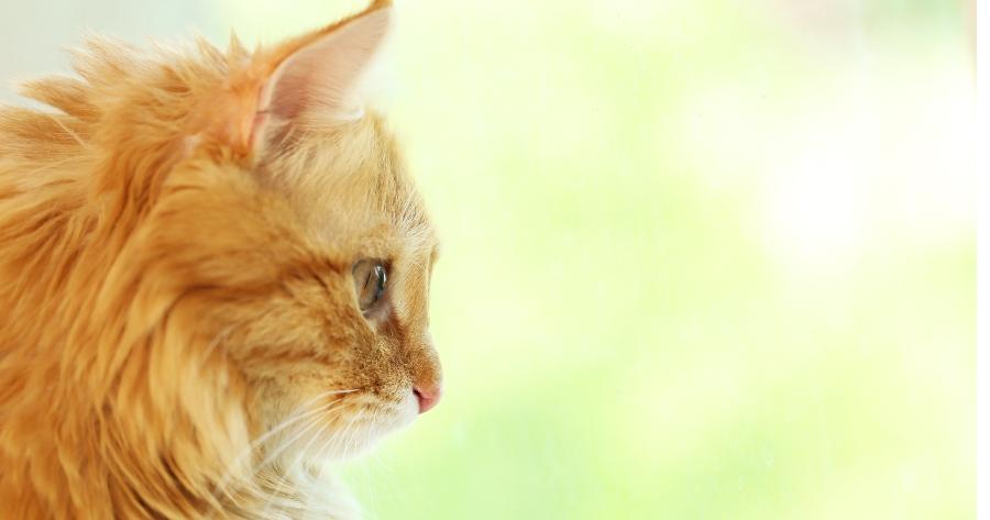 gato anaranjado de perfil mirando al vacio