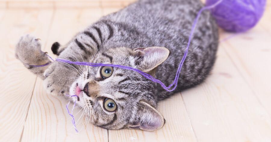 gato gris atigrado con estambre