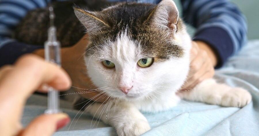 gato inyeccion insulina