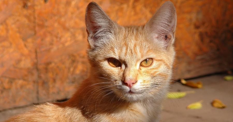 orange tabby gato