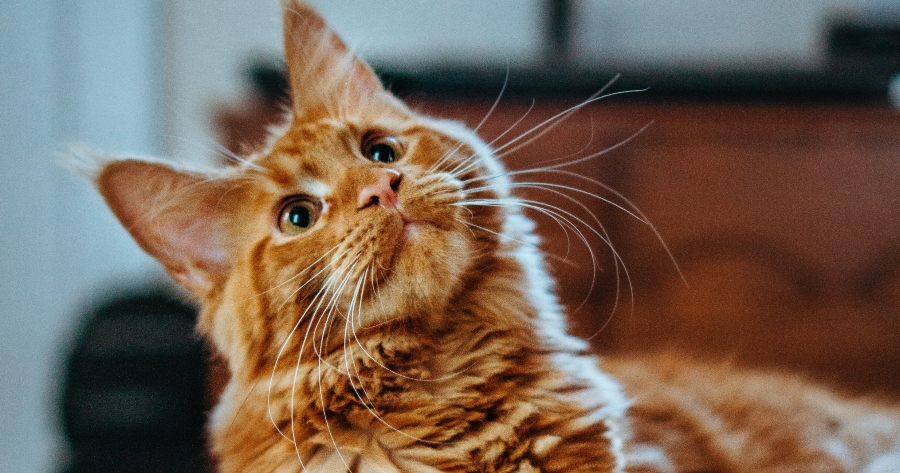 gato naranja escuchando