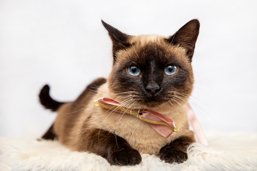 gato siamés elegante