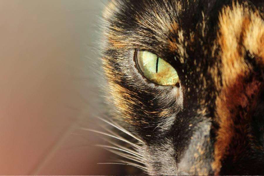 Gatos carey son misteriosos