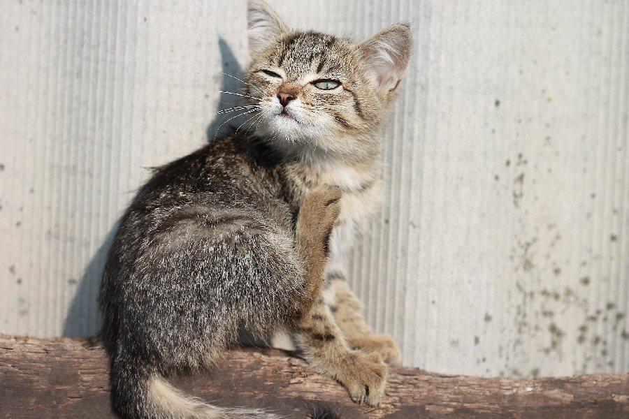 gato se rasca pulgas