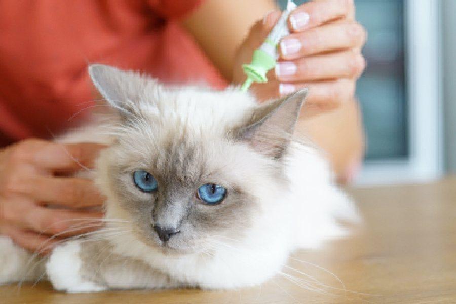 pipeta antipulgas para gato