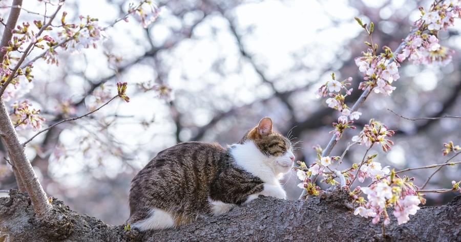 gato sakura