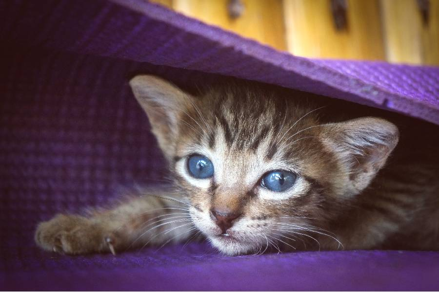 gatito gris atigrado dos semanas de vida