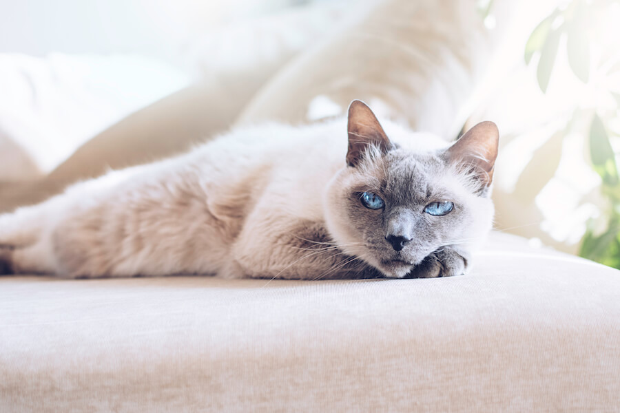 gato siamés echado