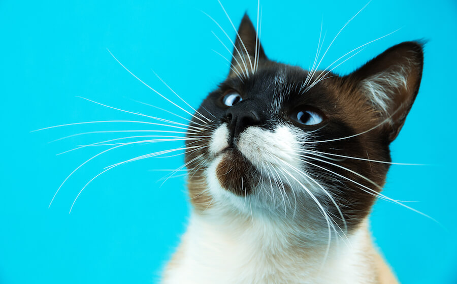 gato siamés bizco
