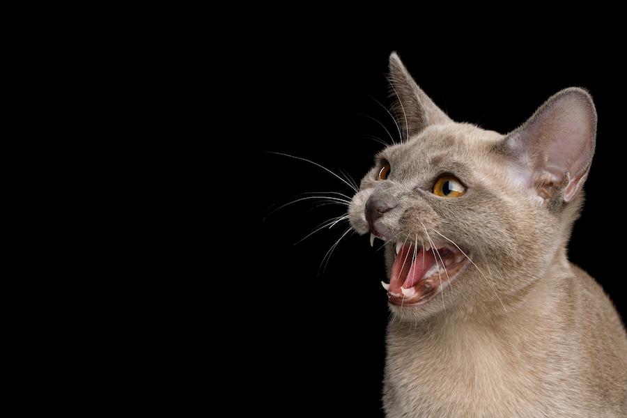 gato epilepsia maullando