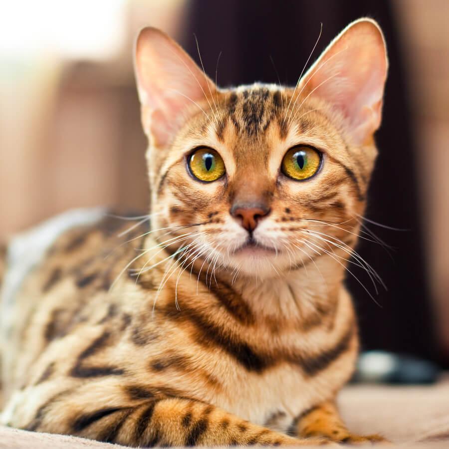 gato de bengala alergia