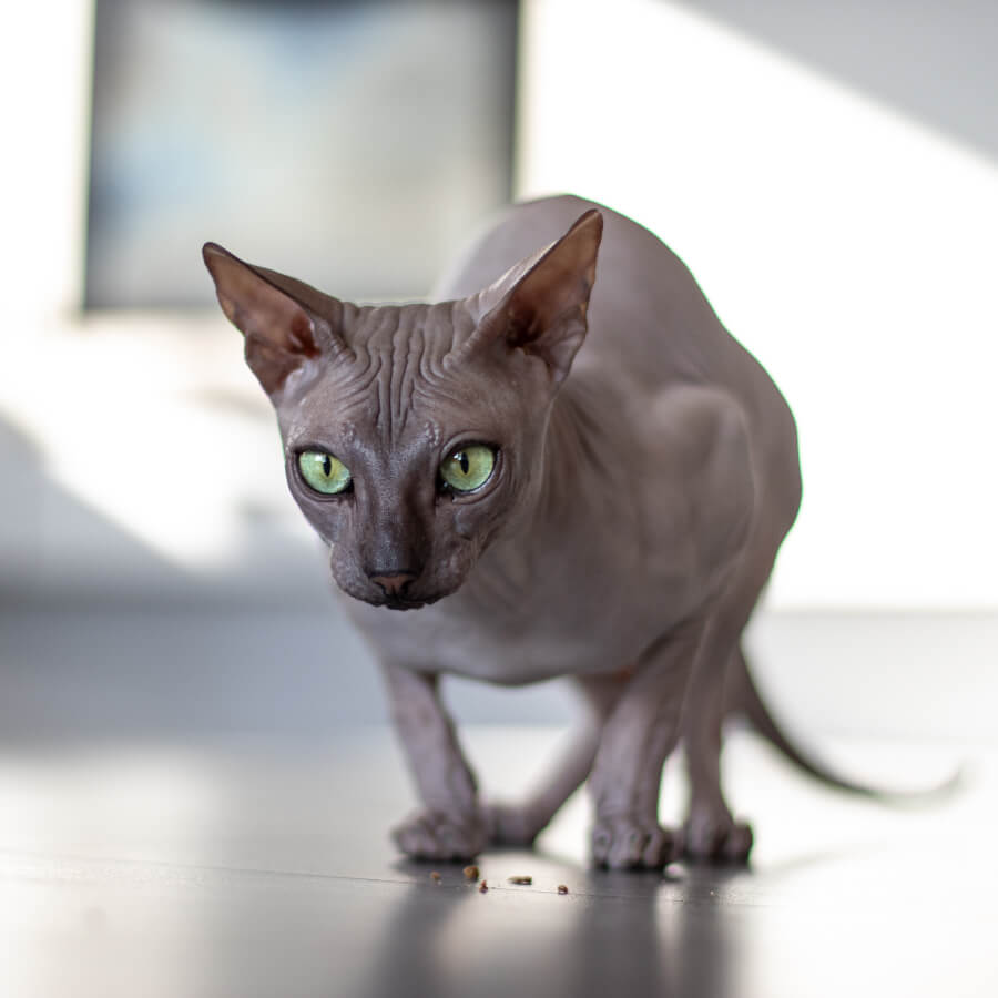 gato esfinge alergia