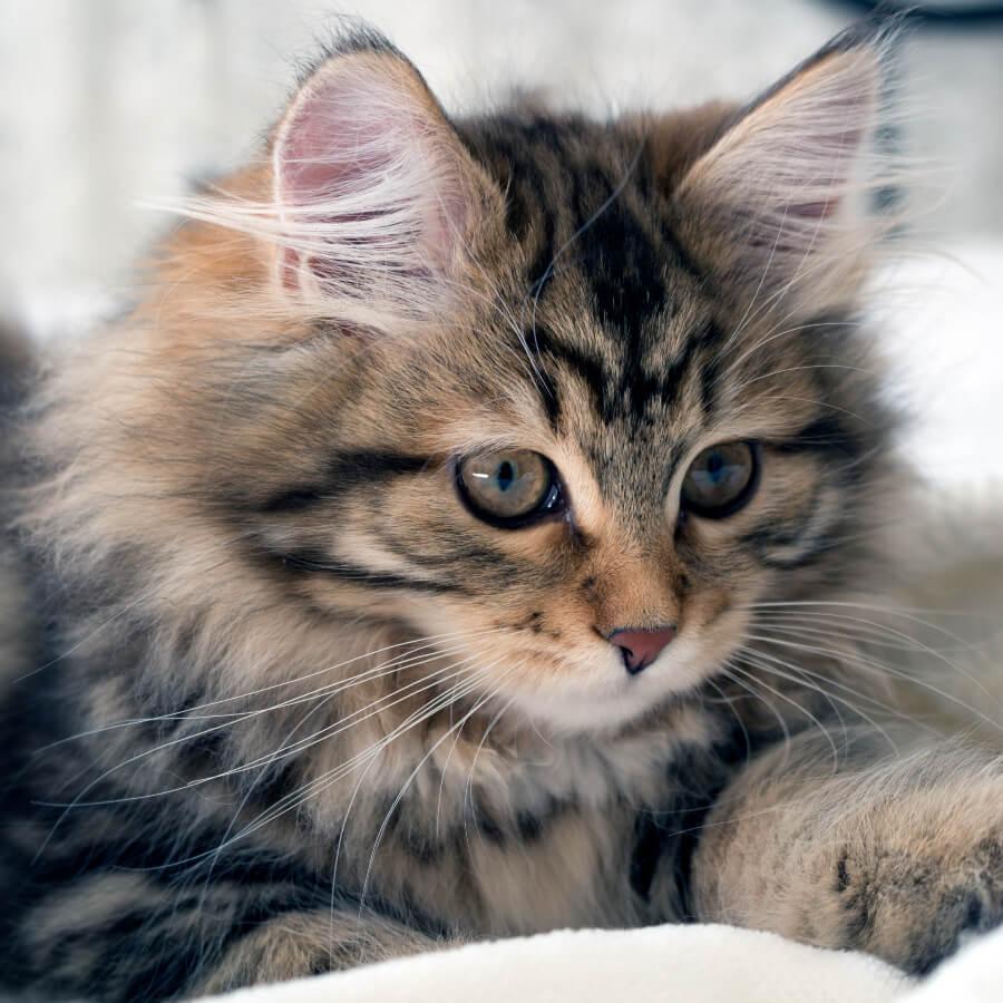 gato siberiano alergia