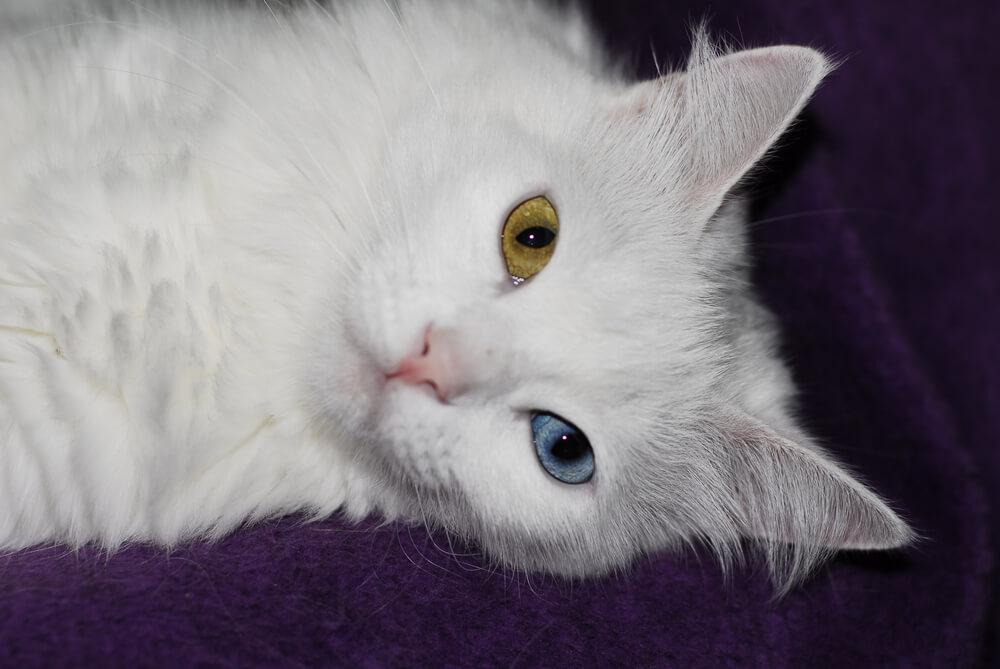 angora-turco-con-occhi-eterocromi-disteso