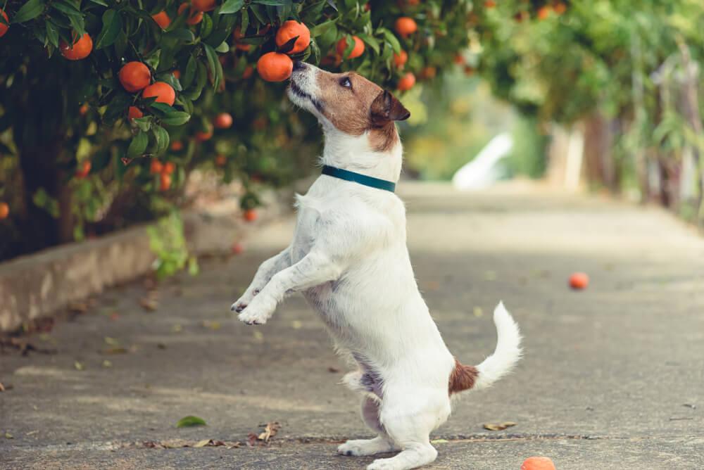 cane-annusa-albero-di-mandarini